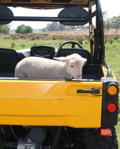 Linhai 700 Sheep