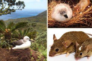 Mice eating chicks of the giant albatross chicks